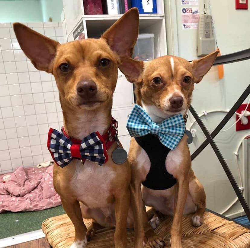 this photo illustrates why bowties make dogs cuter