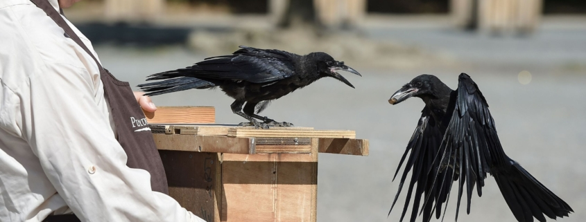 this photo shows crows that pick up litter at Puy du Fou theme park in France