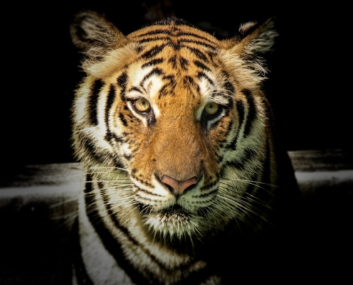 this photo shows a tiger, one of the many endangered species imperiled by the global extinction crisis