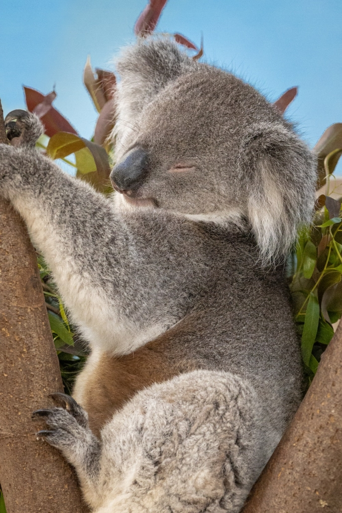this picture of a koala illustrates species threatened by the global extinction crisis
