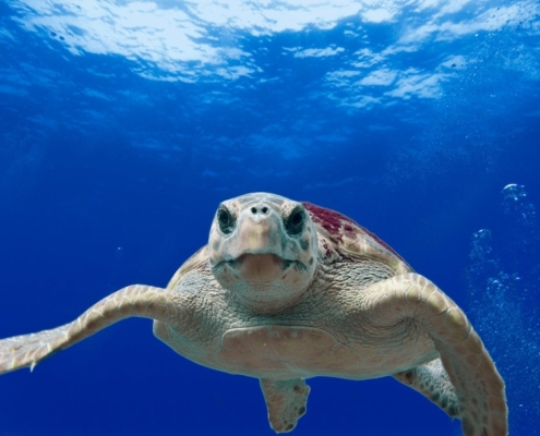this photo shows a turtle and illustrates the article's explanation as to why turtles eat plastic in the ocean