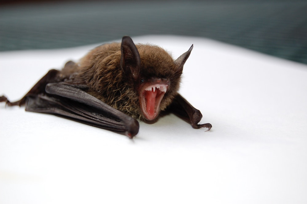 this photo shows a bat looking ready to bite, although not all bats carry rabies