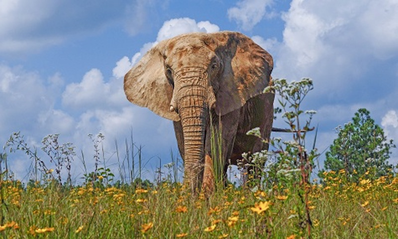 this photo shows an elephant in a field of wild flowers at the Elephant Sanctuary located in Hohenwald, Tennessee