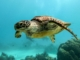 this photo shows a swimming sea turtle which could be exposed to the dangers of micro plastic pollution